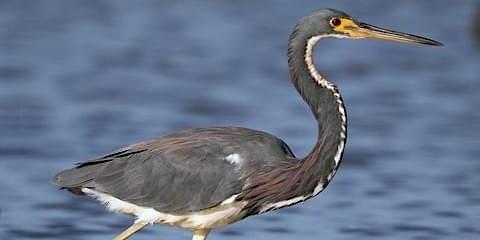 Blue Heron Public Paddle-Sultana Education Foundation