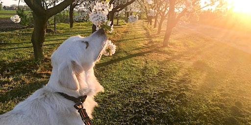 Bloesemwandeling met honden Alden Biesen