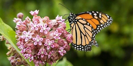 Discovery Day: Monarchs in Montana: Citizen Science!