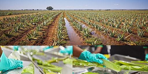 Tour of Forever Aloe Plantations
