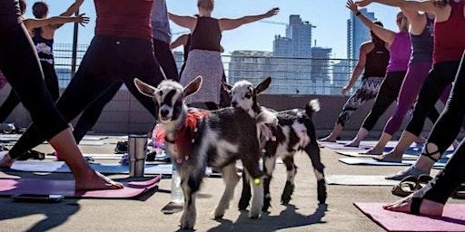 "Goat""Chella"" Yoga with Alpacas"