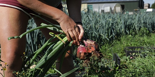 Community Farmer Day - 15 Aug - onions and shallots