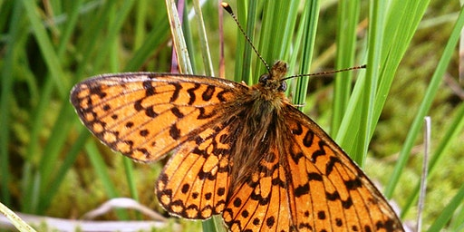 Butterfly survey: small pearl-bordered fritillary