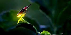 Fireflies in Utah?!