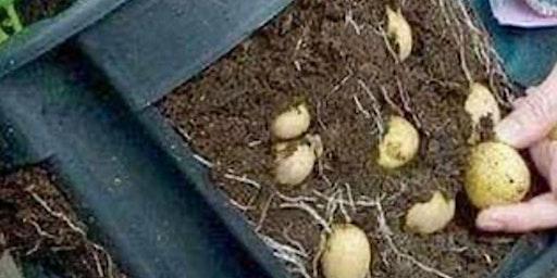 Year-Round Potato Planter