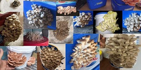 Oyster Mushroom Bench-top bucket cultivation workshop tickets