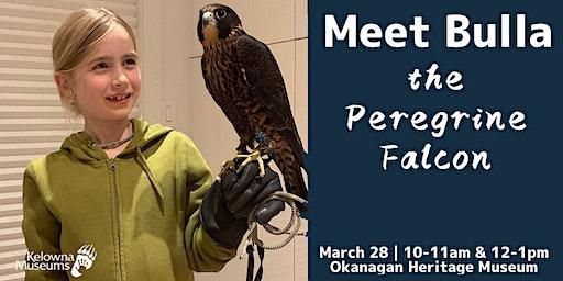 Meet Bulla the Peregrine Falcon
