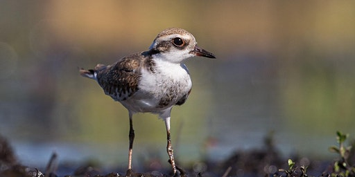 Denmark Shorebird ID Workshop