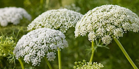 Plant encounters: The Umbellifer family - 31st July 2020 tickets