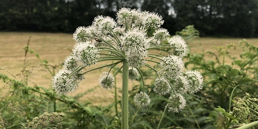 Umbellifers: an introduction to the carrot family, Nottinghamshire