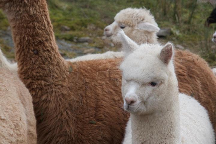 Special Alpaca Experience (up to 6) image