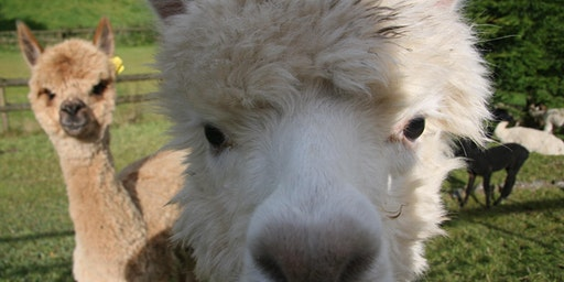 Special Alpaca Experience (up to 6)