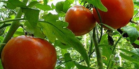 How to Grow Tomatoes in Alachua County