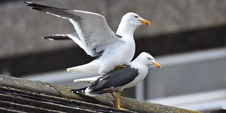 *Postponed* Urban gulls: not just stealing your sandwich tickets