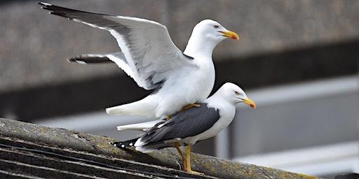 Urban gulls: not just stealing your sandwich