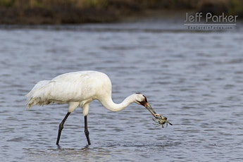 Whooping Cranes ~ Photo Tour ~ 2020