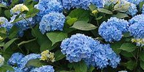 Hydrangeas - How to Plant, Prune and Maintain tickets