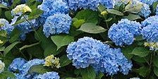 Hydrangeas - How to Plant, Prune and Maintain