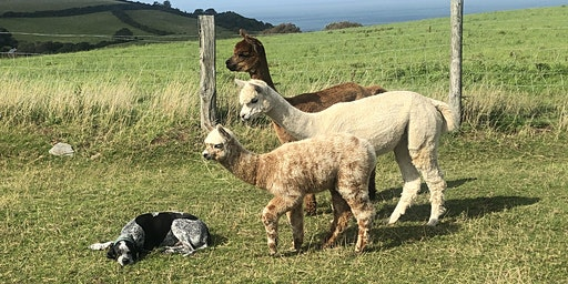 Introduction to Alpacas - Conformation, Fibre & Breeding