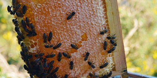 Beekeeping: Honey Extraction & Hive Management