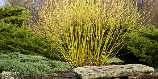 Pruning Shrubs for Beauty, Plant Health, and Wildlife