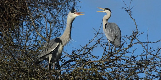 Herons and Egrets of Hertfordshire