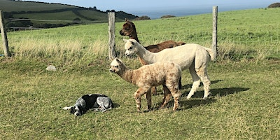 Introduction to Alpaca: Conformation, Fibre & Breeding
