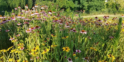 Care of Pollinator Perennials in Spring