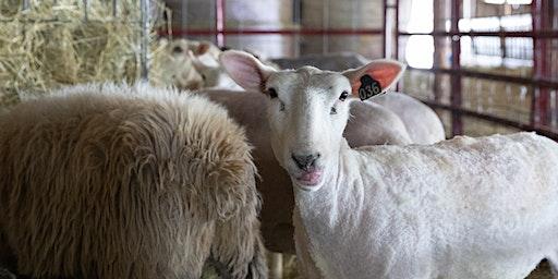 Sheep & Shear Delights