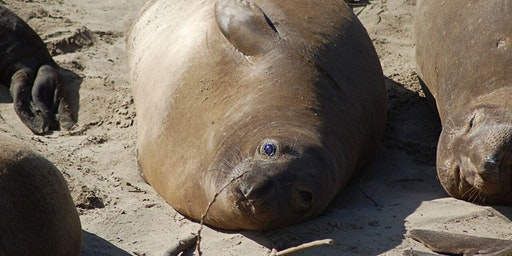 Elephant Seal Guided Walk