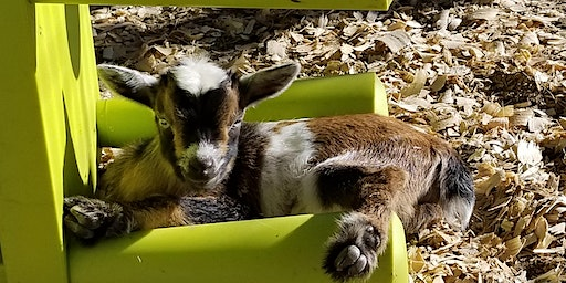 Baby Goat Yoga - Sat, February 29th @ 10:30 AM