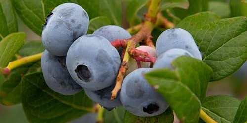 Blueberry Pruning Workshop
