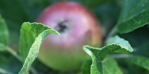 'Wassailing' Apple Tree Celebration with Felicity Bristow & Susie Wilson