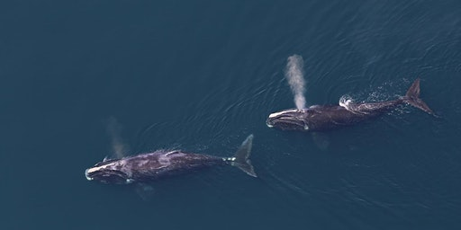 Right Whale Road Show: Art Exhibition and Q&A