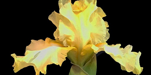 Mt Diablo Iris Society Show and Sale