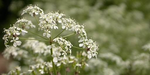 Umbellifers Identification Workshop