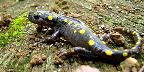 Amherst's Famous Spotted Salamanders