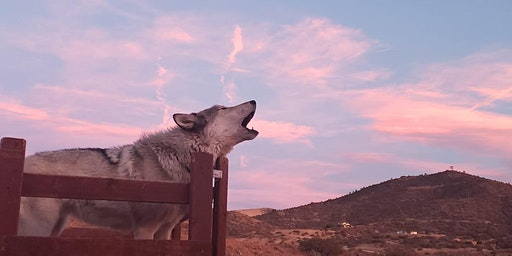 Pink Full Moon Wolf Experience  & Sound Bath with the Apex Pack