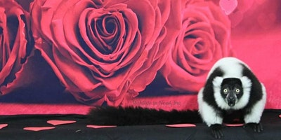 Ruffed Lemur PLAYTIME Adult only 6 people per sess
