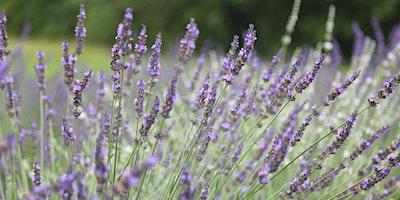 Lavender 101 Class