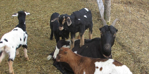 Snuggle & Feed Goat Kids at Lally Broch Farm