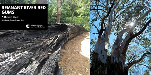 Remnant River Red Gums - A Guided Tour