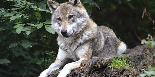 A history of wolves in Ireland - Landscape change and the wolf in Carrigtwohill
