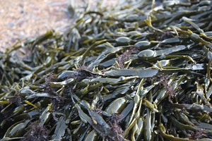 March Seaweed Forage