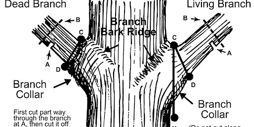 Principles of Proper Pruning  for the Landscape
