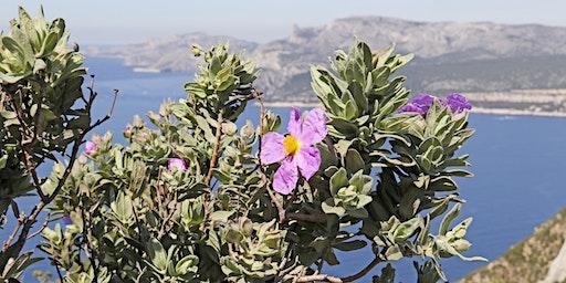 Les usages passés et présents de la flore des Calanques