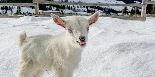 Open Barn Baby Goat Cuddling