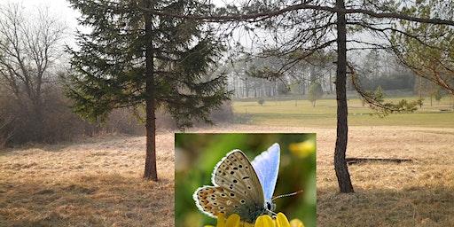 Découverte de la vie des papillons azurés Maculinea
