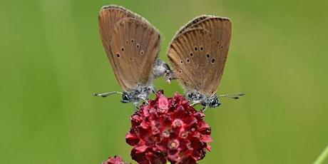 ANNULE-Découverte de la vie des papillons azurés Maculinea billets