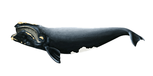 North Atlantic Right Whales: On the Path to Extinction
